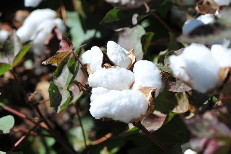 Cotton - About Cavaso Farming - Dynamic Farming Business