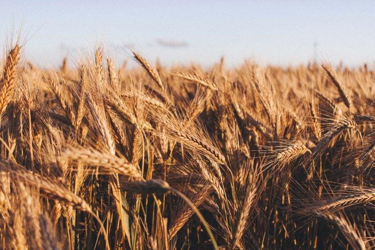 WHEAT - What We Do - Cavaso Farming